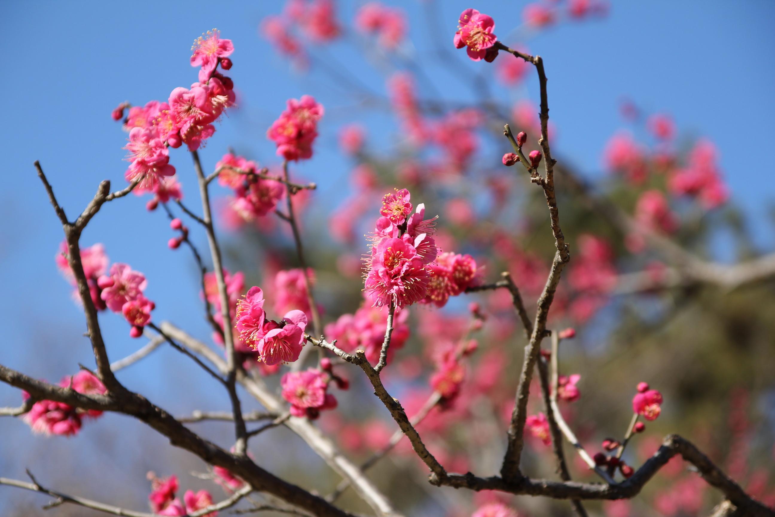 梅の画像 p1_27