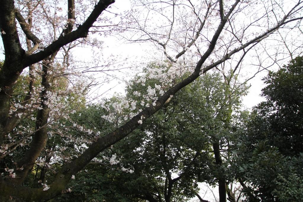 004_sakura