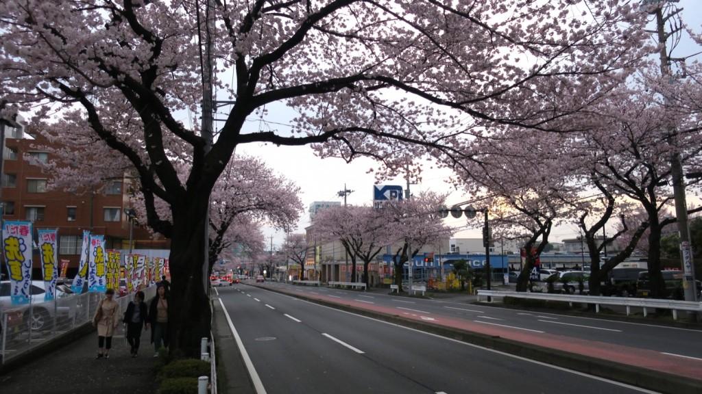 002_sakura