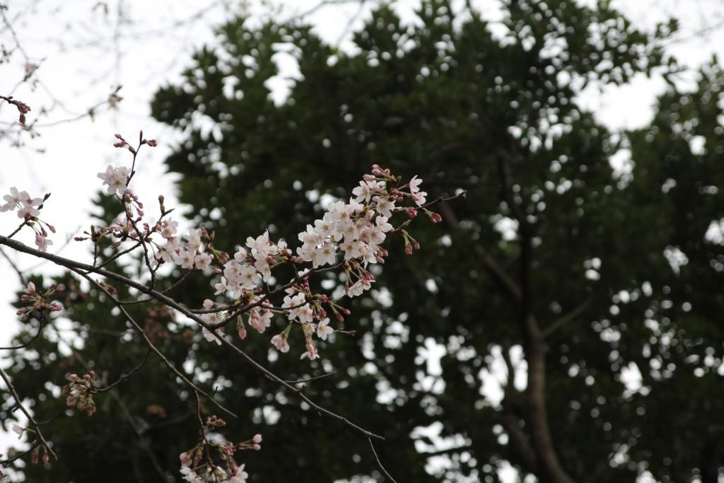 009_sakura