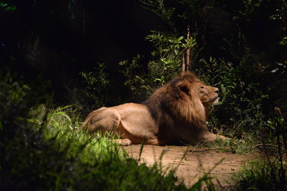 001_lion