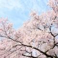 桜を横浜で子供と、お花見2019。公園で遊べる!桜の穴場&名所ベスト8 [2019年版]