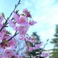 たまプラーザ桜フェスティバル [3月19日からスタンプラリー 4月2日・3日桜まつり]