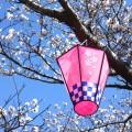 横浜市内の「桜まつり」まとめ9選。今週末がピークです。4月2日3日。