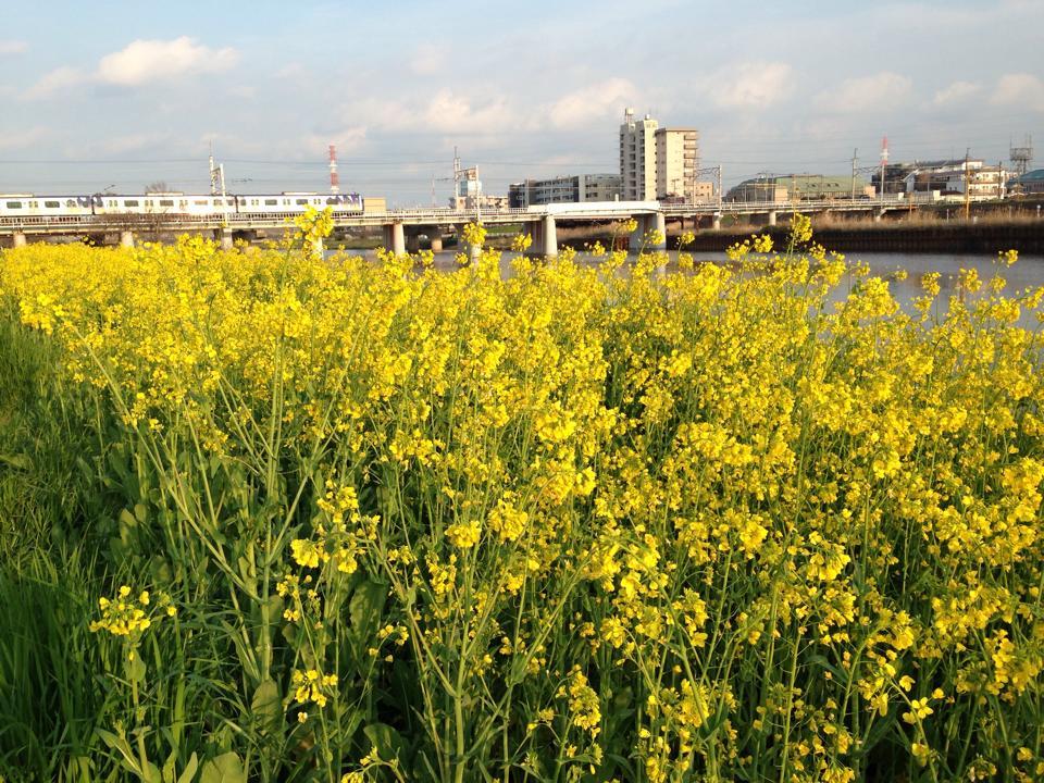 tsunashima_nanohana1