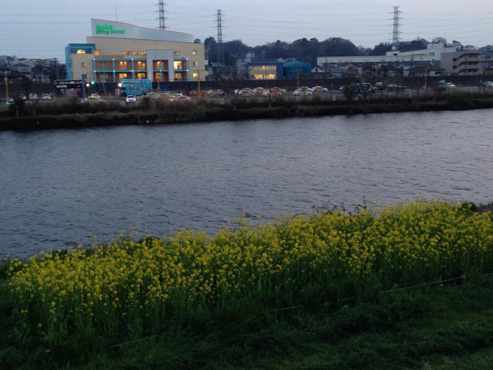 tsunashima_nanohana4