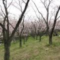 久良岐公園(くらきこうえん)の桜が満開!一面の桜を真下で楽しめる穴場中の穴場公園 [4月2日]