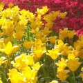 横浜公園でチューリップまつり開催中![4/15~17]