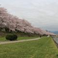 まだまだ満開!横浜から1時間の穴場の桜を見てきました。圧巻の桜と川遊び。子供と行くお花見にはぴったりです。[4/10満開]