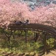 早咲き桜が見頃(3/2)!桜の中を走るロングすべり台にとミニSLに子供も大満足。富士山と桜、横浜から1時間の穴場を発見です。