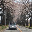 瀬谷区・海軍道路の桜並木がほぼ満開 期間限定で道路沿いの芝生開放(写真レポート 2018年3月26日現在)