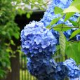 神奈川湘南、紫陽花・花菖蒲のスポット!6月の爽やかな色彩を見に行きませんか。梅雨ならではの季節の自然を楽しもう。