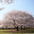 湘南・桜を子供と6選。子供とお花見を遊びながら!桜がキレイな公園、地元ママが集めました[藤沢・茅ヶ崎]