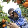 みかん狩りに行こう!冬の農業体験は、もぎたてのみかんをそのままパクっ。小さなお子さんにもおすすめの体験、みかん狩り募集開始!【2019年12月8日(日)@神奈川県大井町】