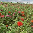 イシックス馬入のお花畑:ポピー、菜の花、ひまわり、コスモス…季節のお花を親子で見に行こう!、川辺の空気が気持ちいい♪SNS映えスポットも。馬入ふれあい公園隣接です[平塚市相模川河川敷]