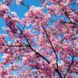 長坂谷公園:横浜緋桜(ヨコハマヒザクラ)が満開!一日たっぷり遊べる公園で春を満喫しよう。[緑区:写真レポート2021年2月27日]