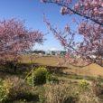 小出川・萩園橋付近:河津桜、菜の花、富士山が一度に見れちゃう穴場スポット♪今週末、お出かけついでにちょこっと寄って、春を感じちゃおう![茅ヶ崎市]