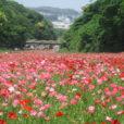 横須賀市くりはま花の国:100万本のポピー花畑が開花!ネモフィラも楽しめる![5月30日まで]